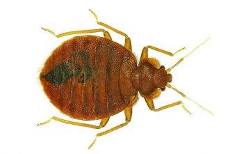 How bedbugs invaded New York